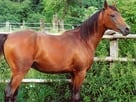 Arabian_Purebred_Stallion_0001